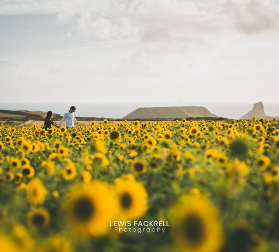 Walking in a field of sunflowers at Rhossili, gower photography